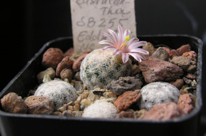Mammillaria lasiacantha Lasiac13
