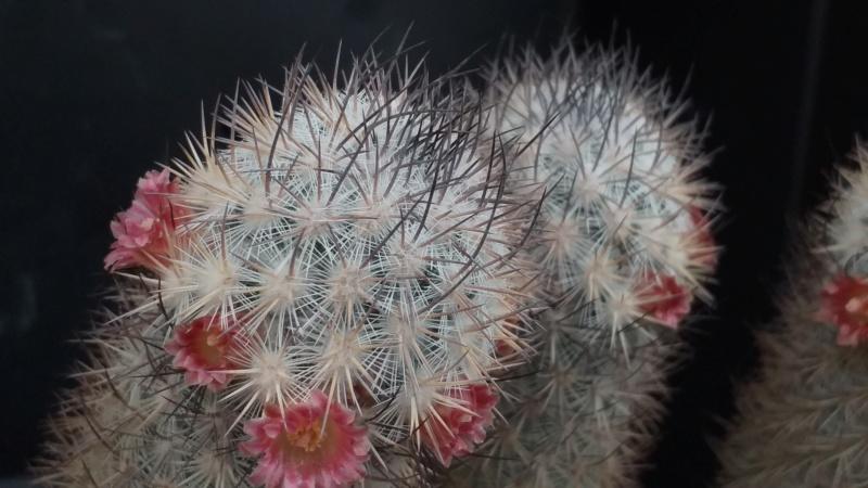 Mammillaria leona Leona10