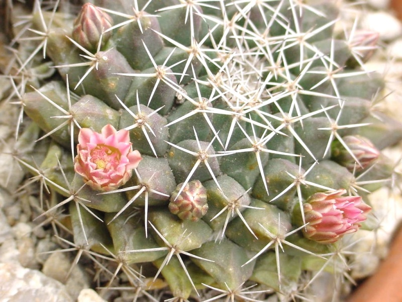 Mammillaria sororia Sorori10