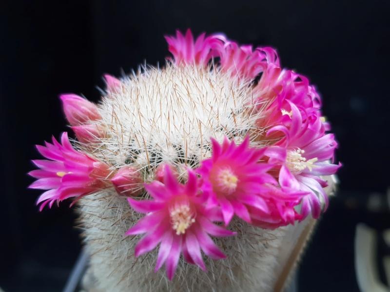 Mammillaria spinosissima Spinos10