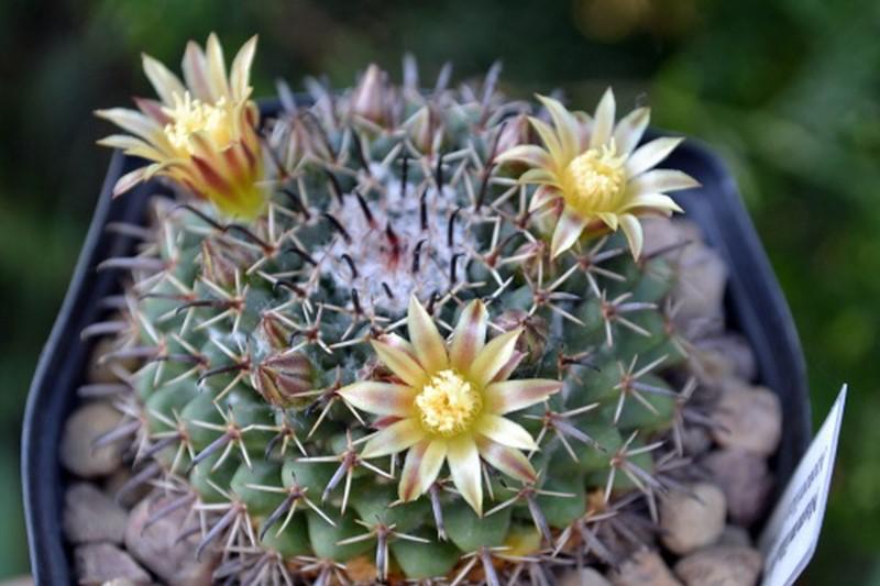Mammillaria uncinata Uncina13