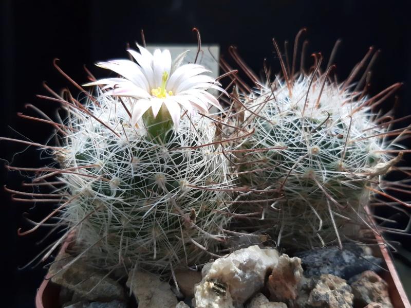 Mammillaria viridiflora Viridi11