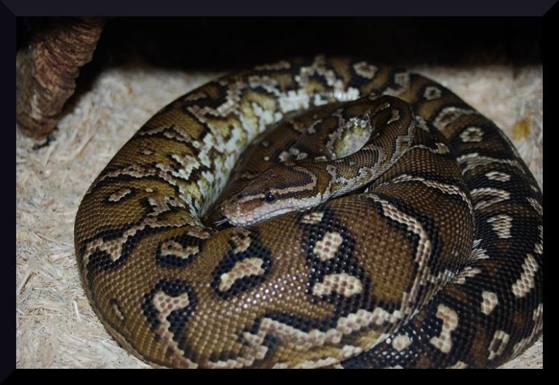 Python anchietae(python d'angola). Dsc_0310
