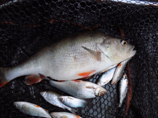 perch session today...and no nuicance pike too.. At_las10