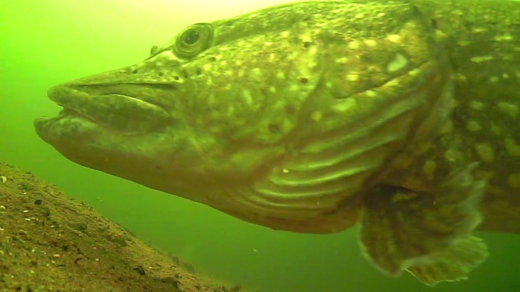 waterwolf underwater footage Vlcsna24
