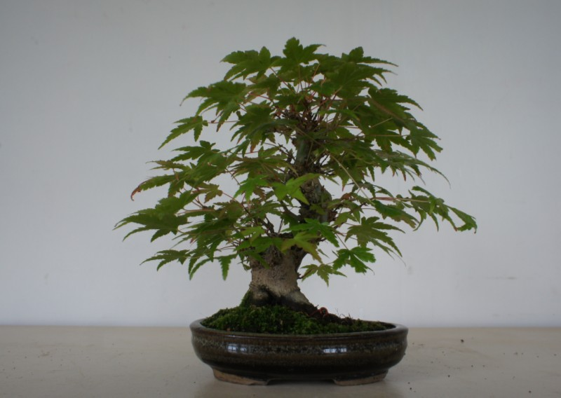 Shohin Maple Dsc03112