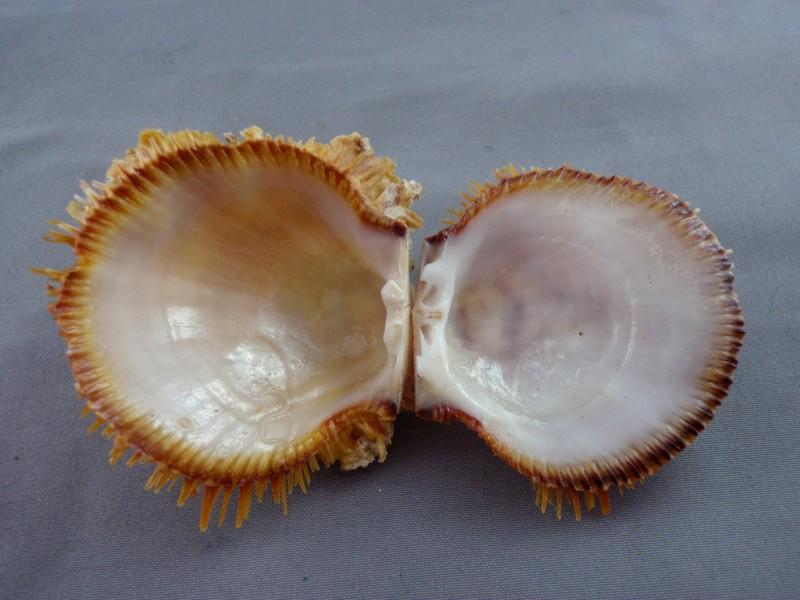 Spondylus linguafelis - G. B. Sowerby II, 1847  Spondy12