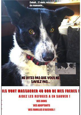 Massacre programmé des chiens des rues roumains Roum110