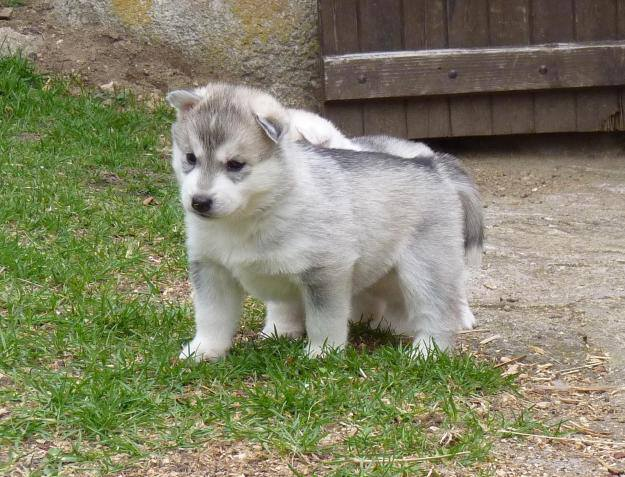 husky ou malamute ?  10819810