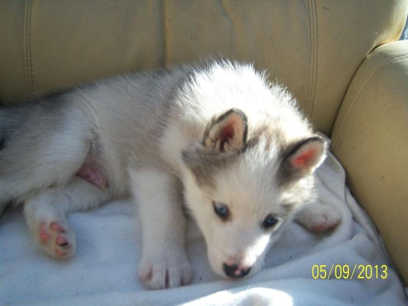 husky ou malamute ?  12401810