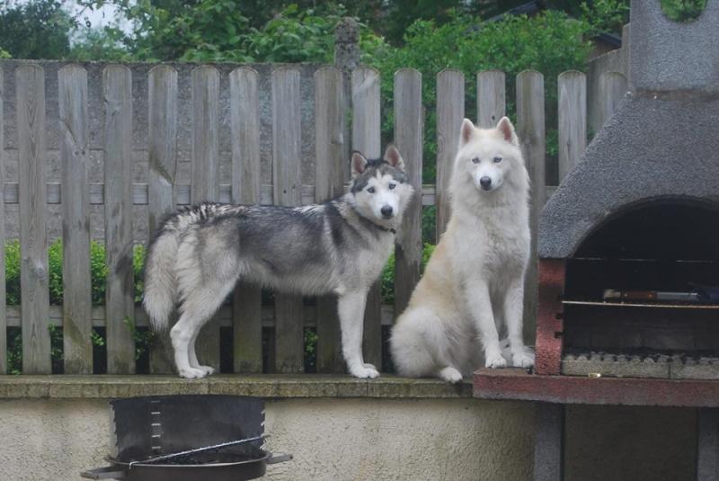 husky ou malamute ?  12900310