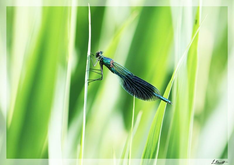 La libellule Libell10
