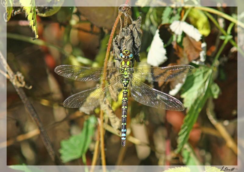 La libellule Libell13
