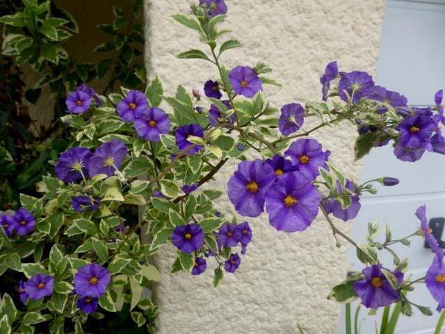 Solanum rantonnetii 01-10-22