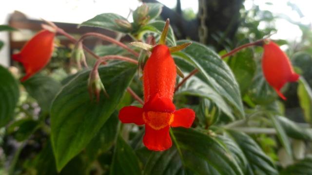 Seemannia - le genre 02-10-11