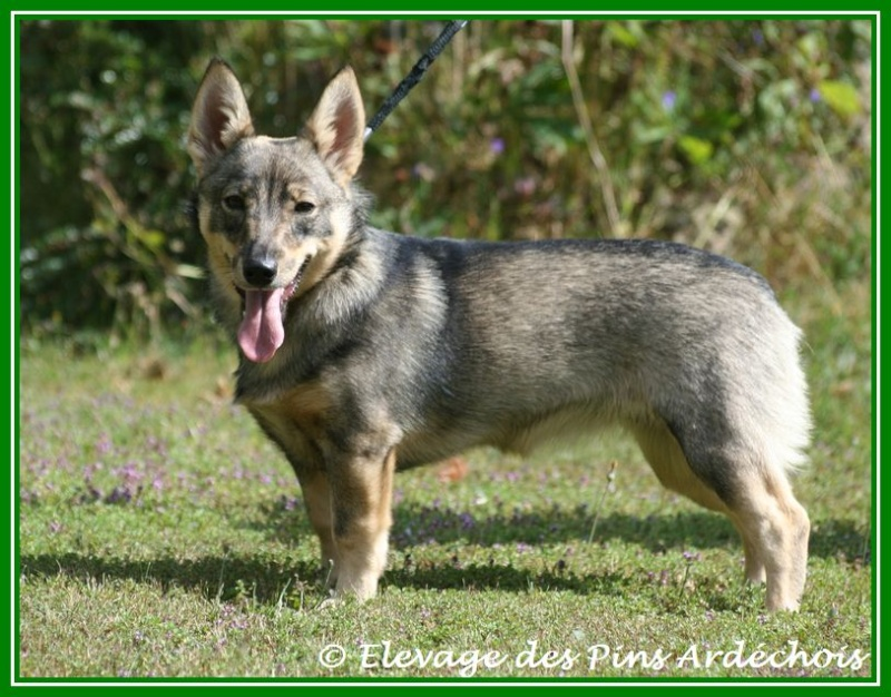 Chiots berger suédois ,visigoth LOF A réserver  04912