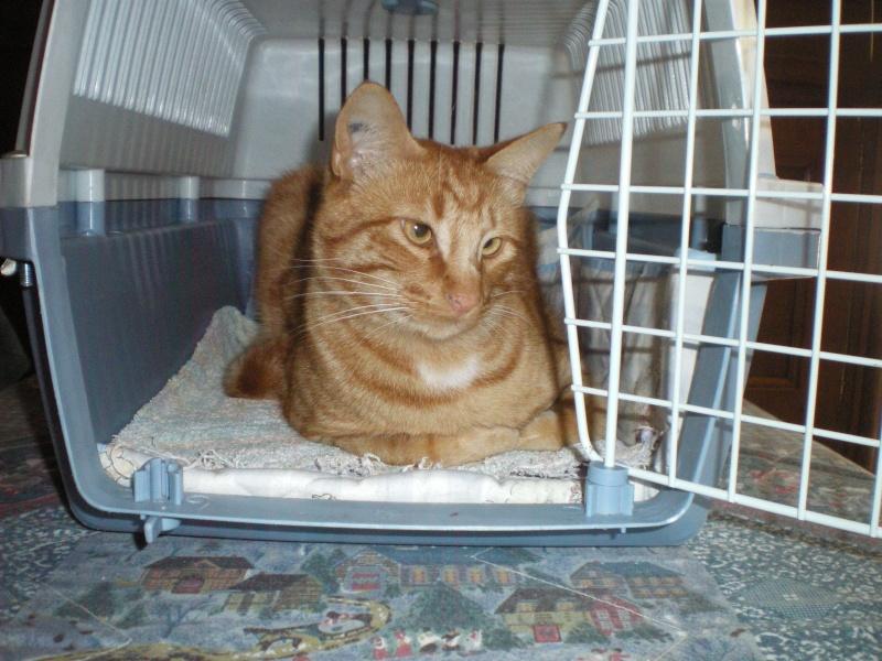 Tommy, Tabby roux, M, 2 ans, IE 250269604782633 / Catégorie coup de pouce : il attend depuis trop longtemps une famille  Tommy_11
