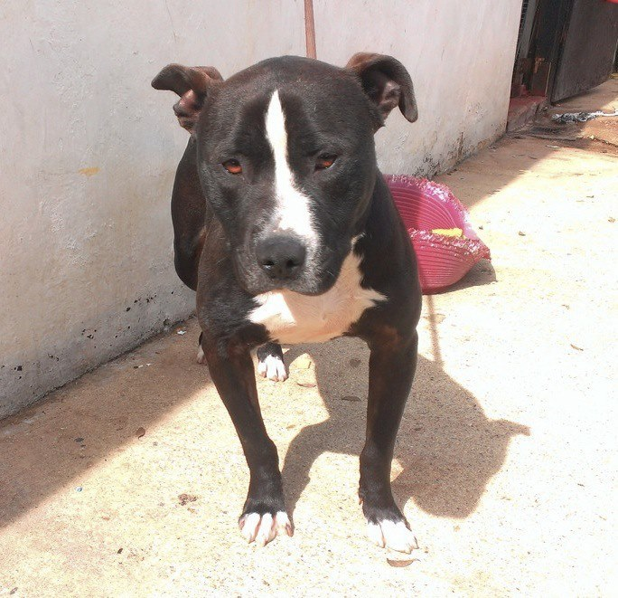 Meet Bruce new boy in the pound needs rescue Bruce10