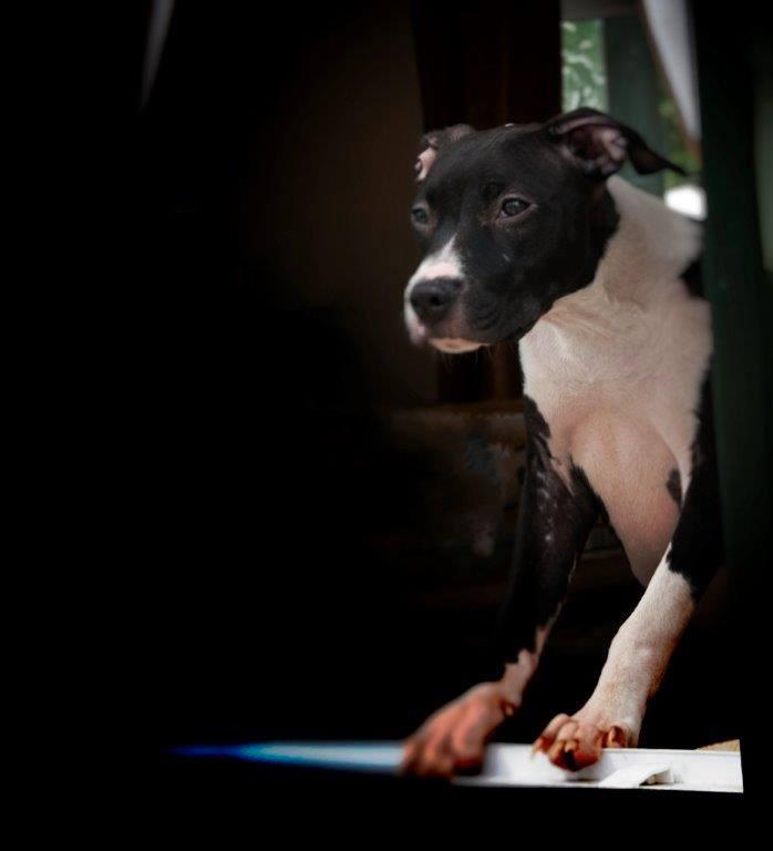 Poor Maddie now seeking rescue with female foster, poor little mite #staffie   NOW SAFE Maddie10