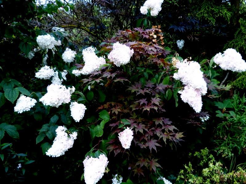 Hydrangea paniculata Vanille et Fraise ( Vanilla Strawberry ) - Page 2 P1150410