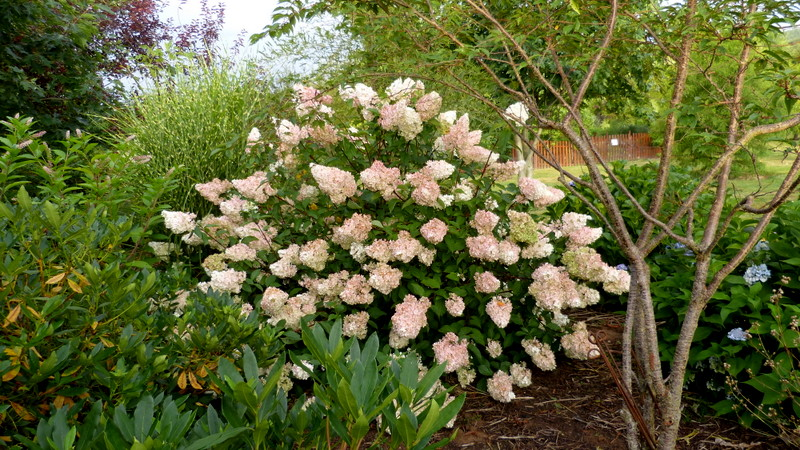 Hydrangea paniculata Vanille et Fraise ( Vanilla Strawberry ) - Page 2 P1150710