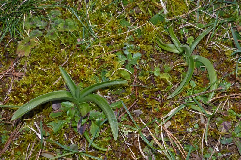 Premières rosettes du jardin Orchid18