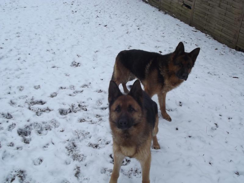 mes deux bergers allemands Dscf0732