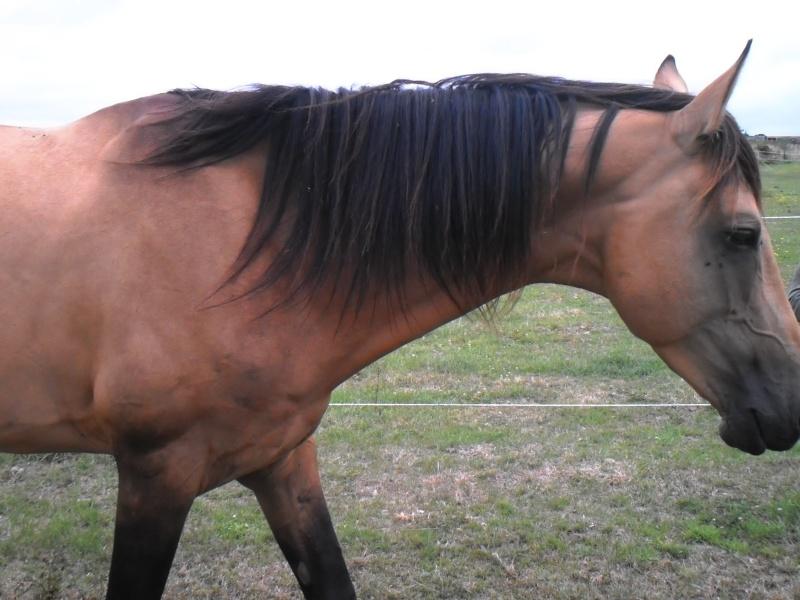 NEZ PERCE HORSE Le_lay11