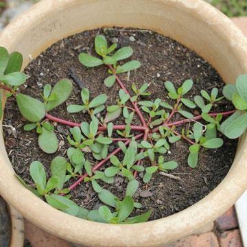 herbe du jardin  835_po10