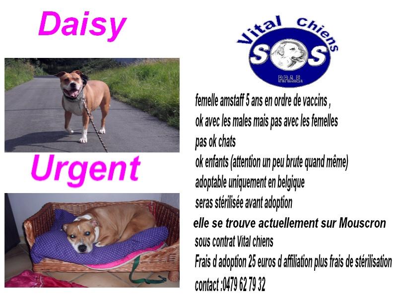 Daisy amstaff , L ASSOCIATION VITAL CHIEN ASBL Daisy_11