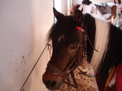 Saxo OI poney - placé hors association Saxo110