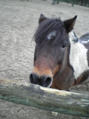 Saxo OI poney - placé hors association Saxo210