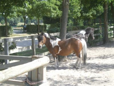 Saxo OI poney - placé hors association Saxo310