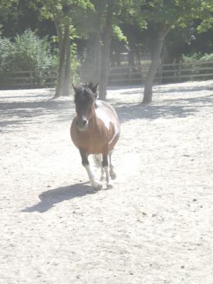 Saxo OI poney - placé hors association Saxo410