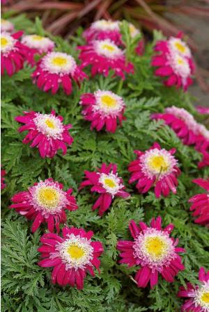 Marguerite Garden Treasure Margue10