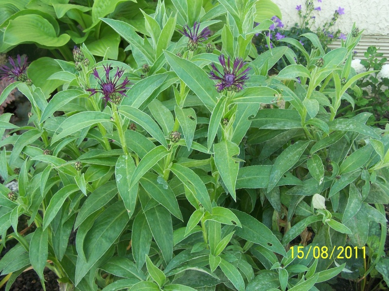 Centauréa montana (bleuet vivace) 100_2110
