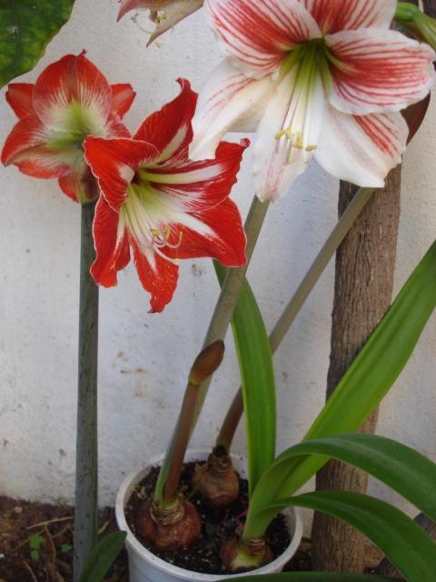 Amaryllis belladona Amaryl11