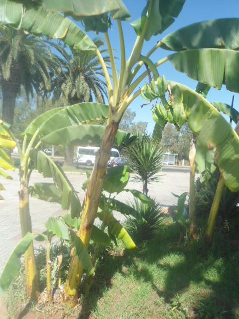 Bananiers de jardins publics Banani16