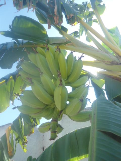 Bananiers de jardins publics Bannie11