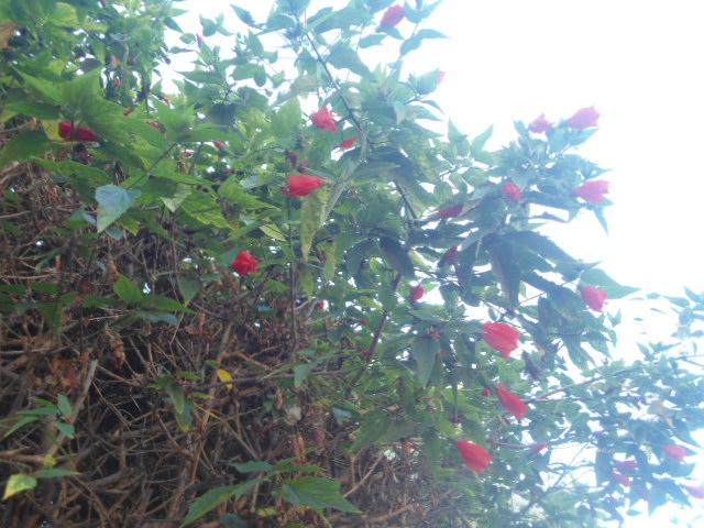 Hibiscus malvaviscus Hibisc16