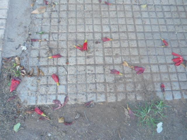 Hibiscus malvaviscus Hibisu10