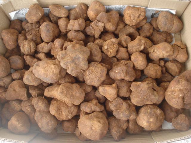Les stapéliées marocaines Truffe14
