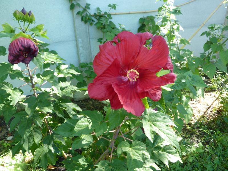Hibiscus malvaviscus P1030715