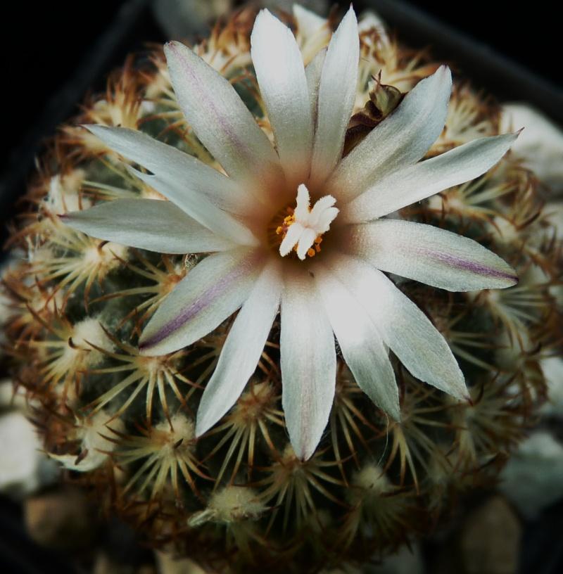 Gymnocactus ysabelae P1150231