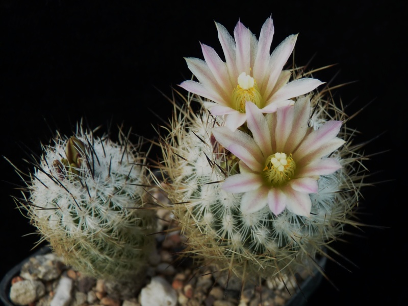 Gymnocactus subterraneus var. zaragosae P1150235