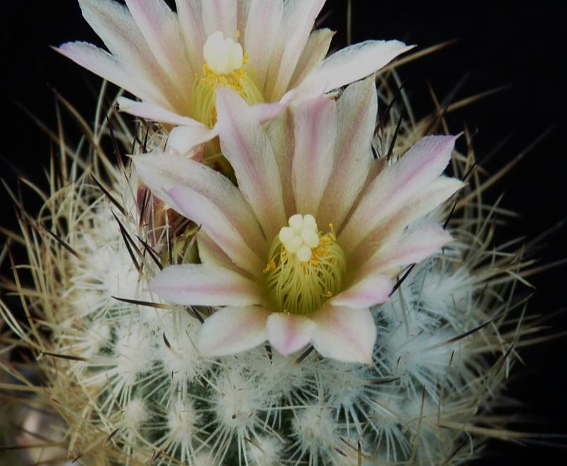 Gymnocactus subterraneus var. zaragosae P1150236