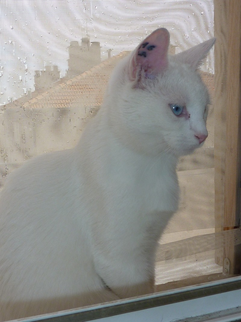 Haeleen née en août 2012 - Croisée siamoise blanche  20avri10