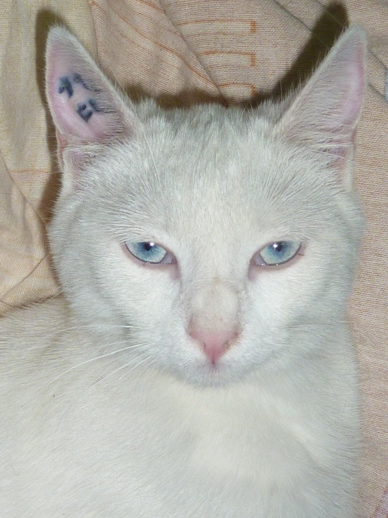 Haeleen née en août 2012 - Croisée siamoise blanche  Photo_16