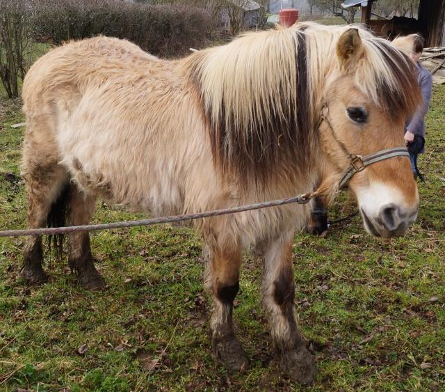 ULYSSE - Poney type Fjord né en 1991 - adopté en février 2011 par comtois&co - Page 2 Dsc00716