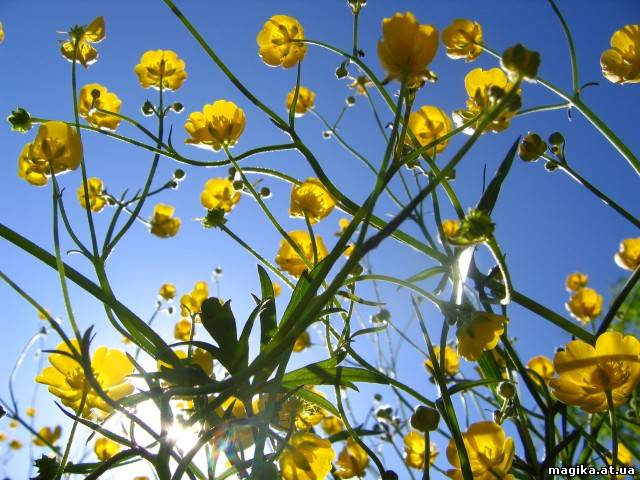 Лютик (Ranunculus) 06543510